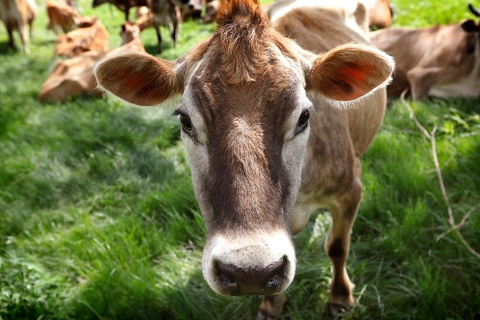 In this May 8, 2018, file photo, a Jersey cow feeds in a field on the Francis Thicke organic dairy farm in Fairfield, Iowa. (AP Photo/Charlie Neibergall, File)