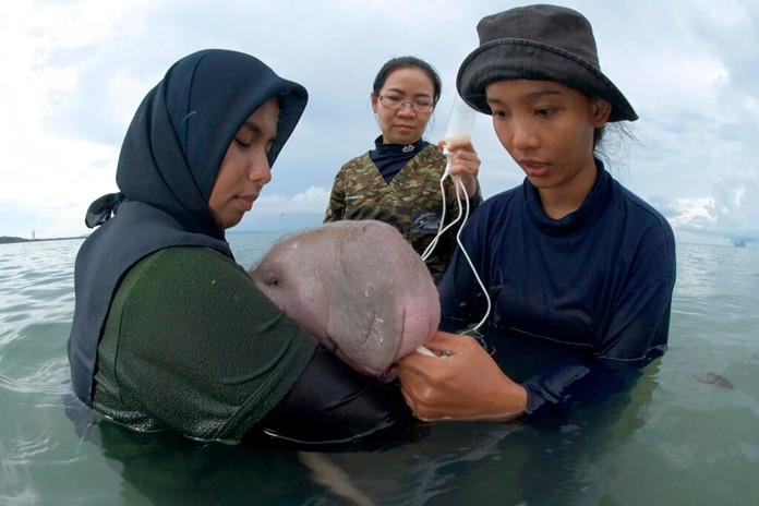 Officials of the Department of Marine and Coastal Resources feed milk to Marium, a baby dugong separated from her mother, on Libong island, Trang province, southern Thailand. (Sirachai Arunrugstichai via AP)
