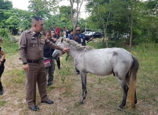 A lame horse, destined for the butcher's knife, was found in Kamlon's backyard.
