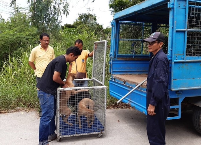 Health Department workers rounded up a group of stray dogs, but only sterilized and vaccinated them before returning the mutts to the East Pattaya streets.