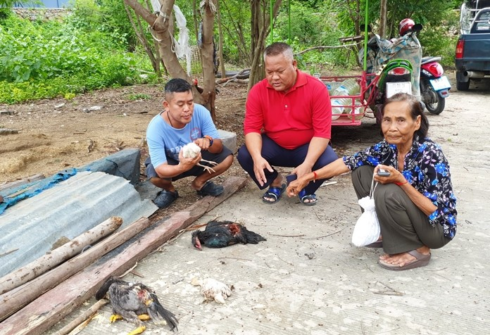 Chicken farmer Laor Duangprasert (right) shows Najomtien Moo 2 village chief Jarin Samipak and a local official the latest of more than a hundred birds killed by wild canines in Sattahip this year.