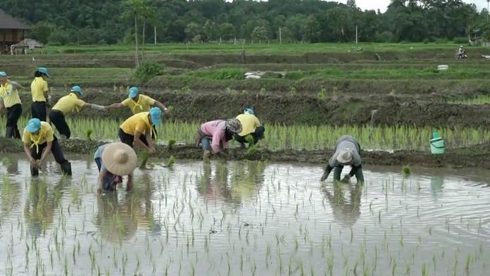 Volunteers help a farmer plant rice seedlings in Nan province.