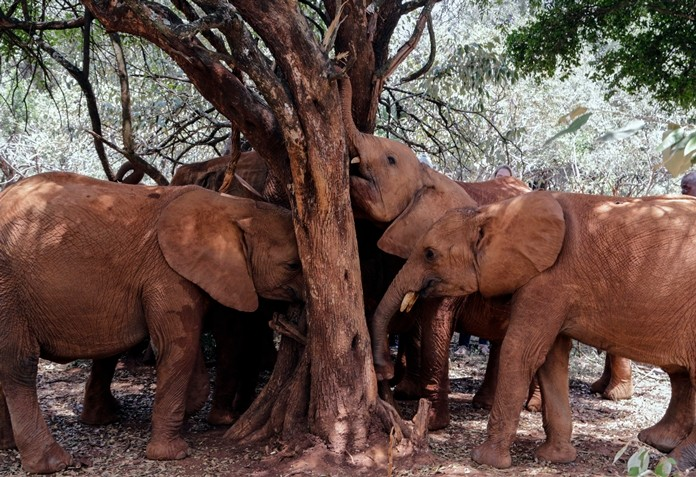 Baby elephants rub their trunks against a tree at the David Sheldrick Wildlife Trust Elephant Orphanage in Nairobi, Kenya Wednesday, Aug. 28. Countries that are part of an international agreement on trade in endangered species agreed to limit the sale of wild elephants, delighting conservationists but dismaying some of the African countries involved. (AP Photo/Khalil Senosi)