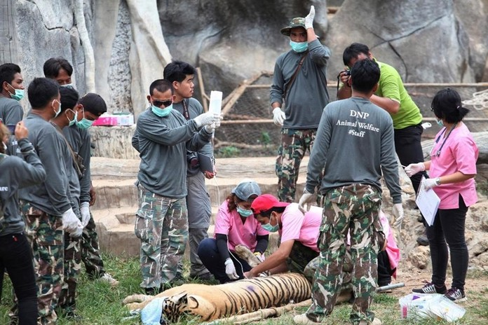 """In this Monday, May 30, 2016, file photo, wildlife officials begin removing some of the 147 tigers held at a """"Tiger Temple"""" in Saiyok district of Kanchanaburi province. (AP Photo)"""