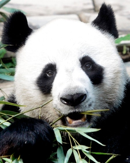 In this April 4, 2007, file photo, a male panda named Chuang Chuang chews bamboo leaves inside its cage at the Chiang Mai zoo. (AP Photo/Apichart Weerawong)
