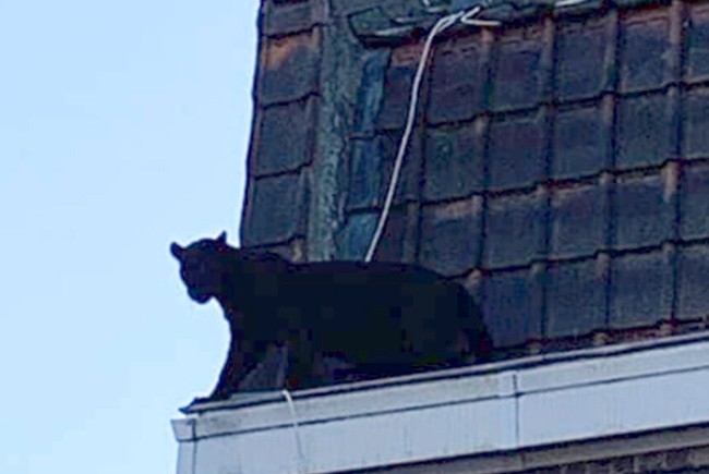 A panther walks on the gutter of a building in Armentieres, northern France, Wednesday Sept.18, 2019. (Sapeurs-Pompiers du Nord via AP)