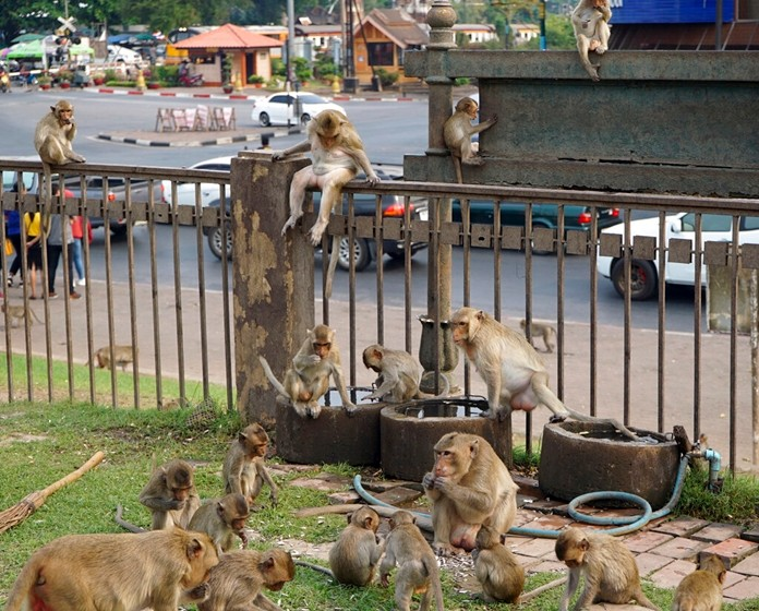 Local monkeys gather in the center of Lopburi town, known as Monkey City, in central Thailand. (AP Photo/Nicole Evatt)
