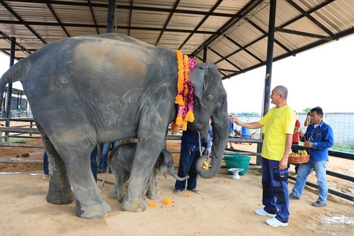 Nong Nooch Tropical Garden Kampol Tansajja performs the Kwan (good spirit) ceremony for the baby elephant.