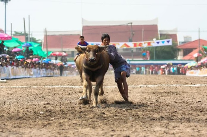 Chonburi's 148th Buffalo Racing Festival was held on October 12 in front of the district office.