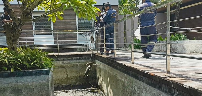 A 2-meter-long male water monitor jumped into a hotel fish pond around noon on Oct. 9, no doubt trying to catch an easy lunch. Problem was, there was no water in the pond, and no fish.