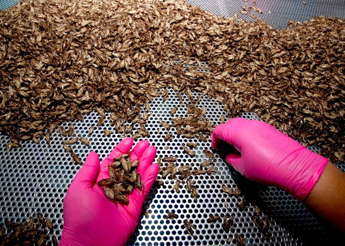 A tourist picks up a pack of crickets named HiSo snacks at a supermarket in Bangkok, Thailand. Oct. 2, 2019. (AP Photo/Sakchai Lalit)