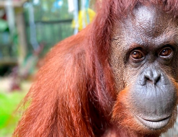 In this photo made available Wednesday, Nov. 6, 2019, by the Center for Great Apes, Sandra, a 33-year old orangutan, settles into her new home at the Center for Great Apes in in Wauchula, Fla. Sandra was granted legal personhood by a judge in Argentina. The judged ruled that Sandra is legally not an animal, but rather a non-human person, and thus entitled to rights. (Keith Stein/Center for Great Apes via AP)