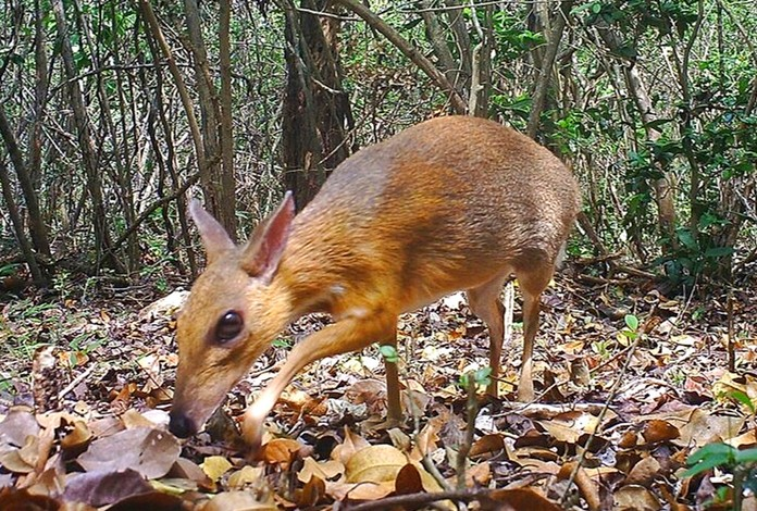 In this Jun. 21, 2018, photo, a silver-backed chevrotain is captured by camera trap in an undisclosed forest in south central Vietnam. The species, commonly known as Vietnamese mouse deer, was rediscovered after 30 years. (Southern Institute of Ecology/Global Wildlife Conservation/Leibniz Institute for Zoo and Wildlife Research/NCNP via AP)