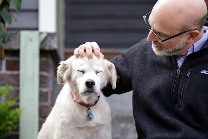 In this Monday, Nov. 11, 2019 photo, University of Washington School of Medicine researcher Daniel Promislow, the principal investigator of the Dog Aging Project grant, rubs the head of his elderly dog Frisbee at their home in Seattle. (AP Photo/Elaine Thompson)