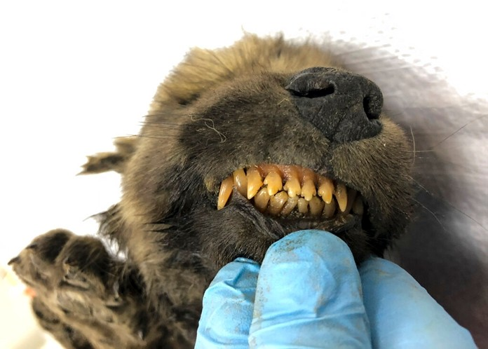 This is a handout photo taken on Monday, Sept. 24, 2018, showing a 18,000 years old Puppy found in permafrost in the Russia's Far East, on display at the Yakutsk's Mammoth Museum, Russia. (Sergei Fyodorov, Yakutsk Mammoth Museum via AP)