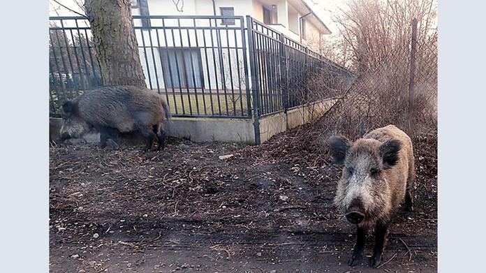 In this photo taken March 25, 2018, wild boar are seen roaming near houses in Lomianki county on Warsaw outskirts. (AP Photo/Czarek Sokolowski/file)