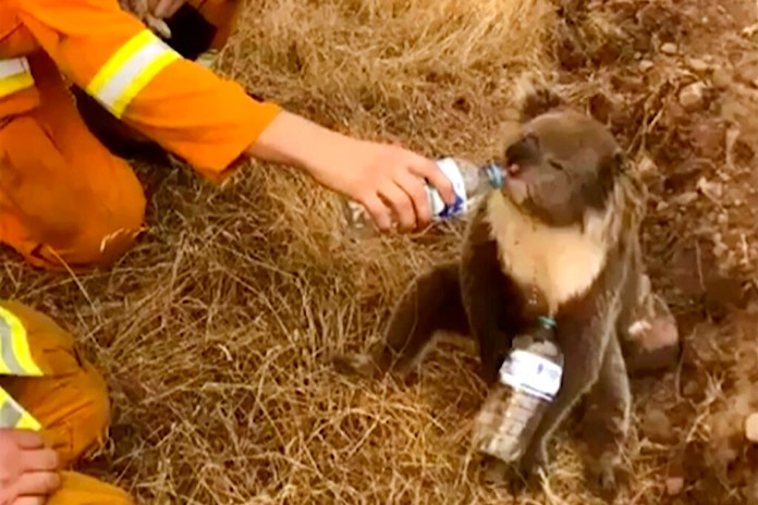In this image made from video taken on Dec. 22, 2019, and provided by OakbankBalhannah CFS, a koala drinks water from a bottle given by a firefighter in Cudlee Creek, South Australia. (OakbankBalhannah CFS via AP, File)