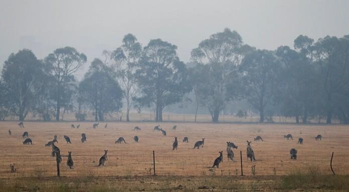 Kangaroos graze in a field as smoke shrouds the Australian capital of Canberra, Australia, Wednesday, Jan. 1, 2020. (AP Photo/Mark Baker)