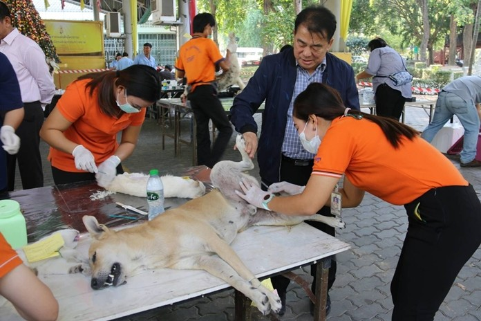 Nongprue Deputy Mayor Suwat Rachathawattanakul lends a hand during the district's free sterilizations and vaccinations for pets.