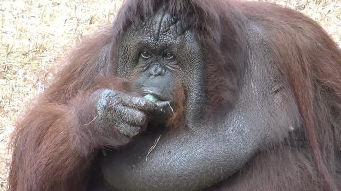 Nancy, an orangutan at Songkhla Zoo.