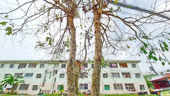 Hundreds of thousands of the caterpillars have reduced many of the golden shower trees in Najomtien to bare branches.