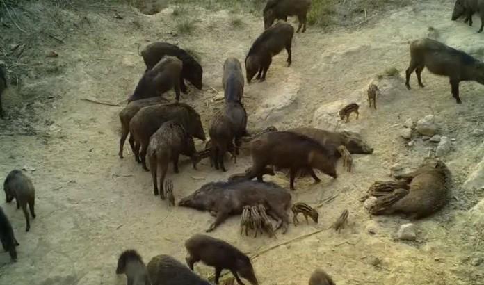 A sounder of wild boars at Thung Salaeng Luang National Park, Petchabun Province.
