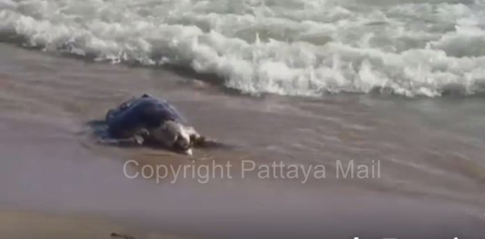 The carcass of a dead sea turtle was found on a Pattaya Beach, the apparent victim of ocean pollution.