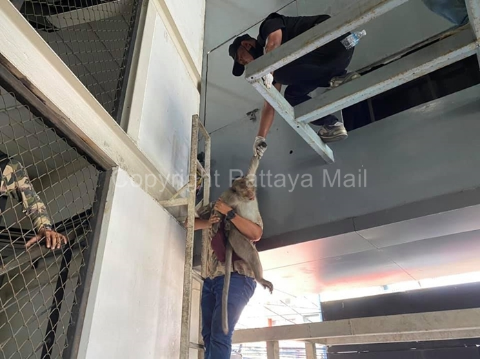 Officers lower a thieving macaque out of his hiding place after a high speed chase that ended with a tranquilizer gun.