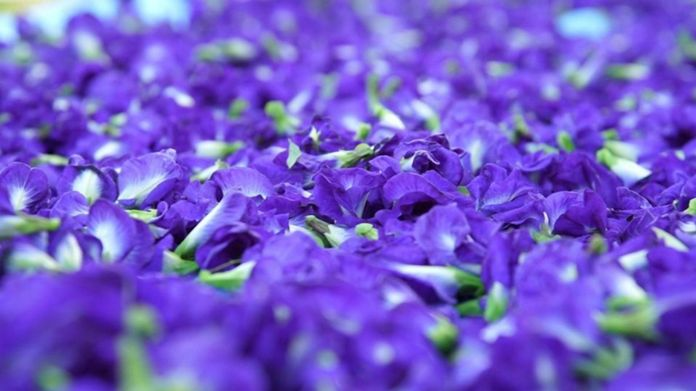 Butterfly Pea - high demand in overseas markets due to health benefits of Anthocyanins.
