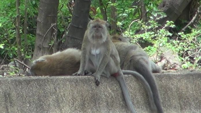 With no more tourists visiting monkeys in Songkhla province are suffering from a shortage of food.