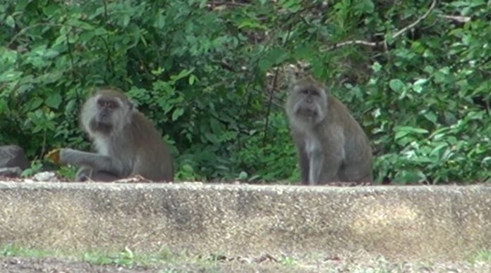 Monkeys at Khao Noi and Khao Tungkuan, Songkhla are waiting for food.