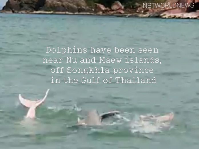 Dolphins were spotted near Nu and Maew islands, off Songkhla province in the Gulf of Thailand.