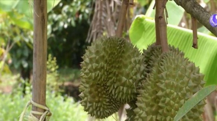 Durian, one of the eight high-demand fruits Thailand is promoting with the China's markets as the lockdowns of both countries have been relaxed.