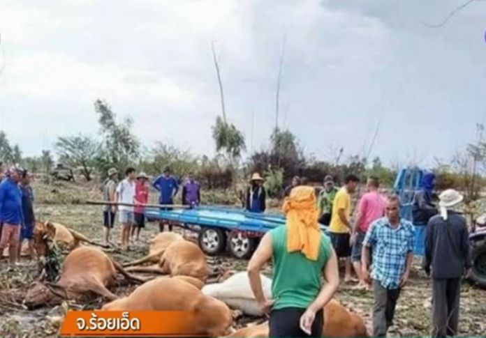 Thunder strikes had killed 8 cows in Roi-Et, northeastern province of Thailand