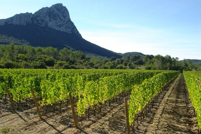 Vineyard in the Languedoc.