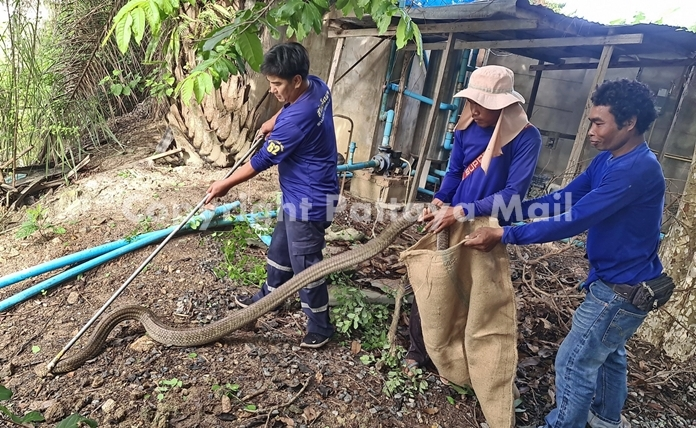 Handlers managed to capture the kind cobra to take to a safer place.