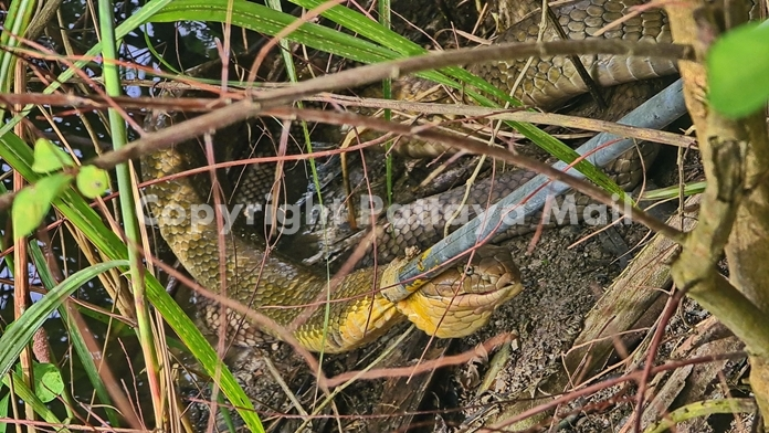 The king cobra hid in the brush when men approached.