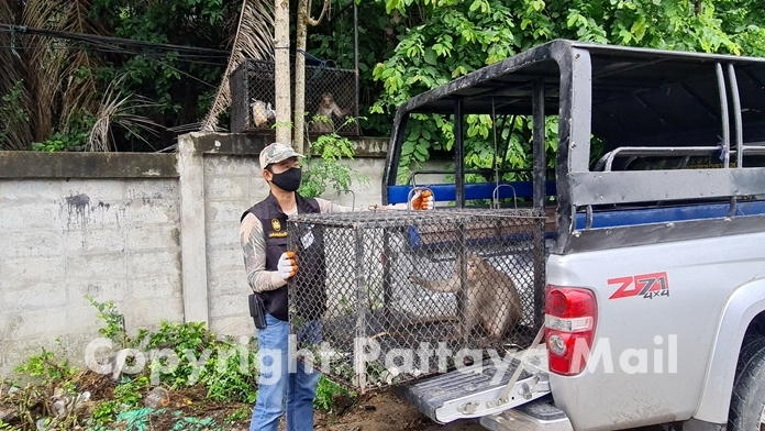 Satit Klaosangwan from the Khao Chee Chan wildlife preserve said the simians will be released to nature away from humans.