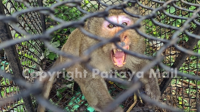 The mischievous monkeys were none too happy about being caged.
