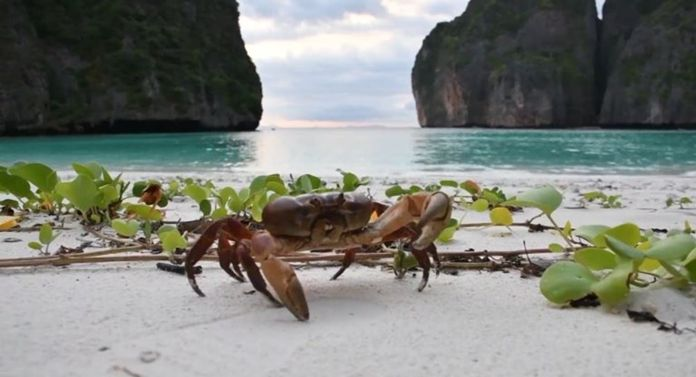 Park rangers said the hairy leg mountain crab or 'Pu Kai' reappeared on Maya Baybeach after decades.