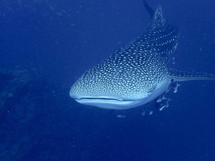 Scuba diving coach found this 3 to 4-meter long whale shark 18 meters down in the gulf near Koh Tao, swimming with a school of Black kingfish.