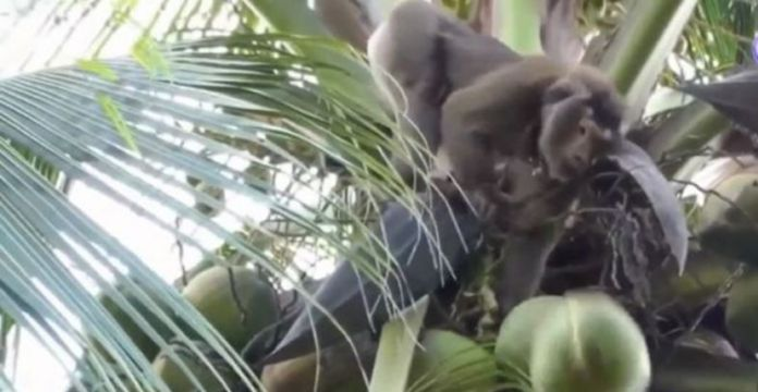 Supermarkets Drop Coconut Products As Investigation Exposes Monkey Labor