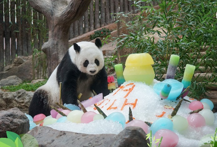 Chiang Mai Zoo celebrates panda's birthday